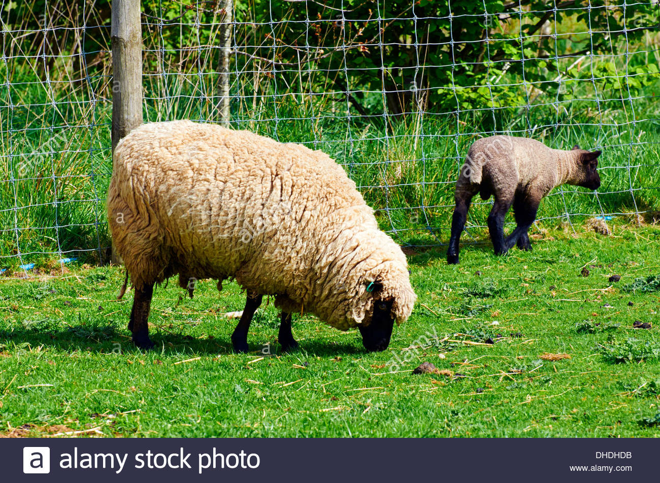 large white woolly sheep grazing alone in a grassy field and a lamb with black markings - Stock Image