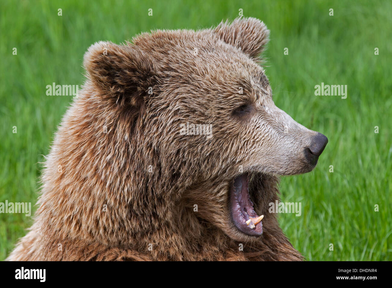 Close up of Eurasian brown bear / European brown (Ursus arctos arctos) yawning /  growling in grassland - Stock Image