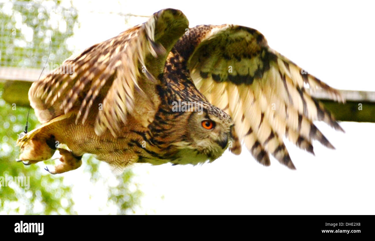 Short-eared Owl, Asio flammeus, is a species of typical owl, Strigidae, in majestic flight. - Stock Image