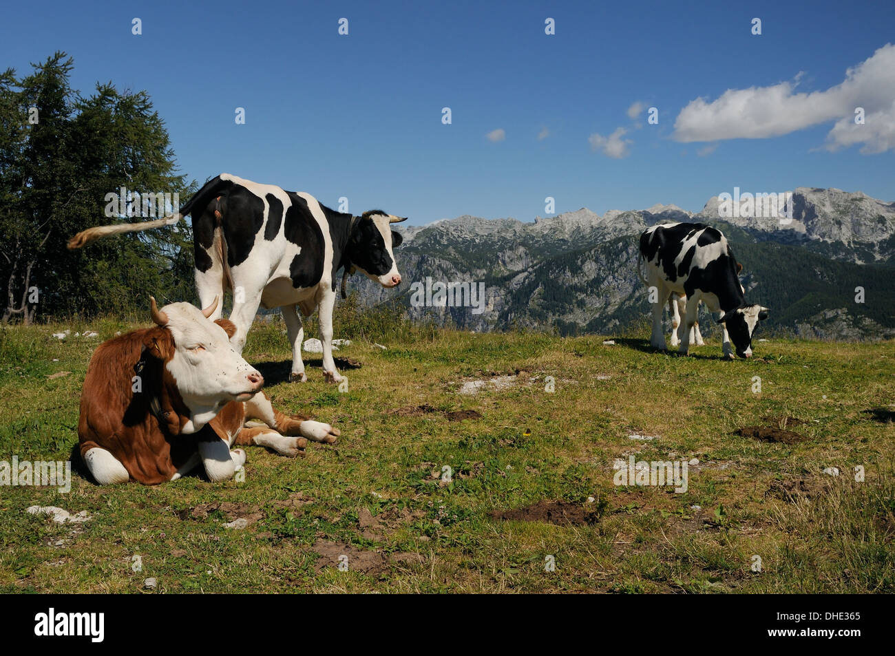 Cows (Bos taurus) lying, standing and grazing on alpine pastureland in the Julian Alps,  Triglav National Park,  Slovenia. - Stock Image