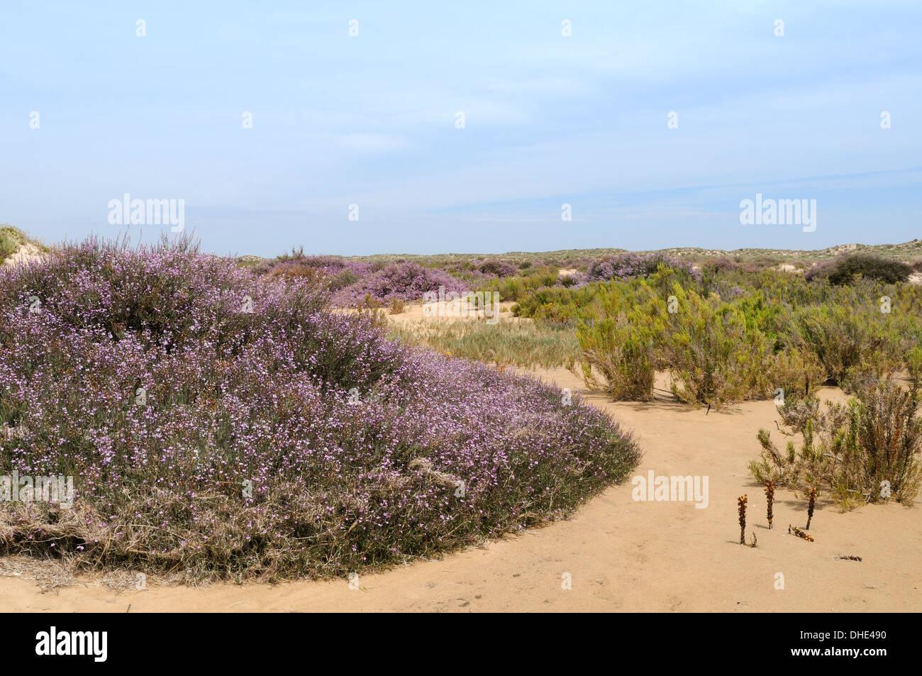 Grand statice (Limoniastrum monopetalum) flowering in sand dunes on Culatra island, Parque Natural da Ria Formosa, Portugal. - Stock Image