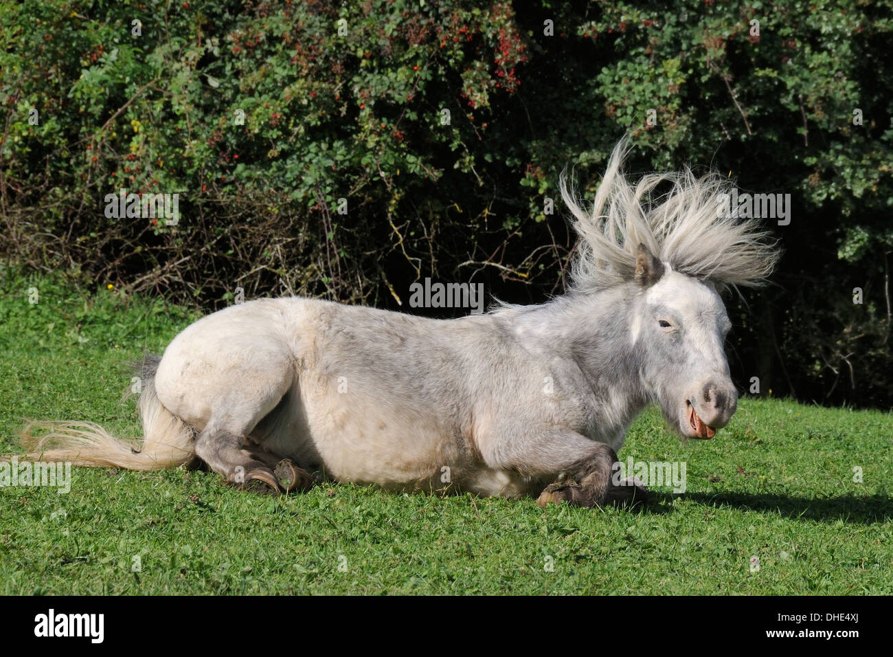 American miniature horse (Equus caballus) with its mane flying after rolling on its back on grassy pastureland, Wiltshire, UK. - Stock Image