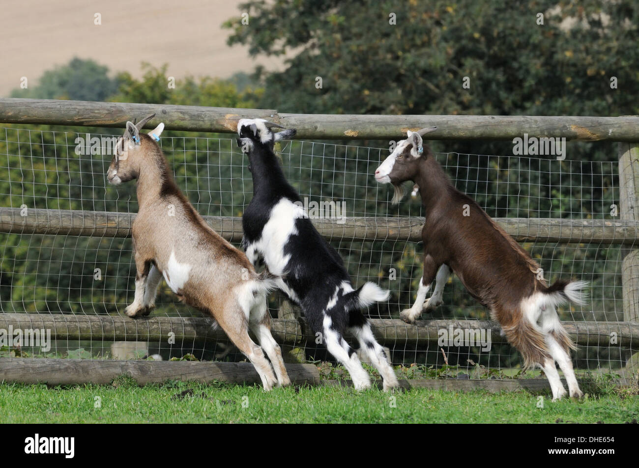 Pygmy goats stock photos pygmy goats stock images alamy for Recinto elettrico per capre