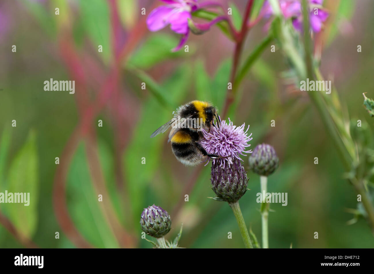 Bumble bee looking for nectar on a thistle flower. - Stock Image