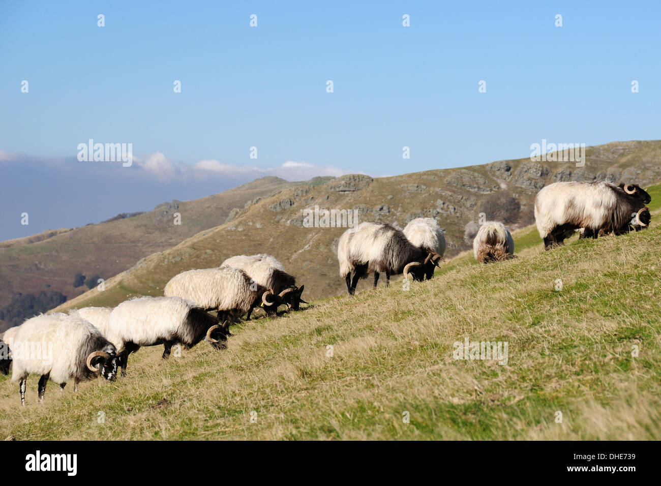 Manech sheep (Ovis aries) grazing Pyreneean mountain pastureland at Fort Lindux, Roncesvalles. - Stock Image
