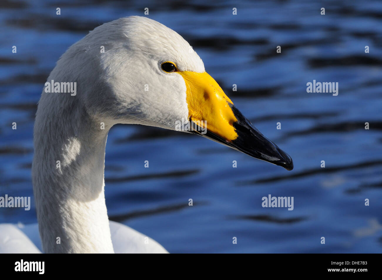 Whooper swan (Cygnus cygnus) head portrait, Regent's Park boating lake, London, UK, January. - Stock Image