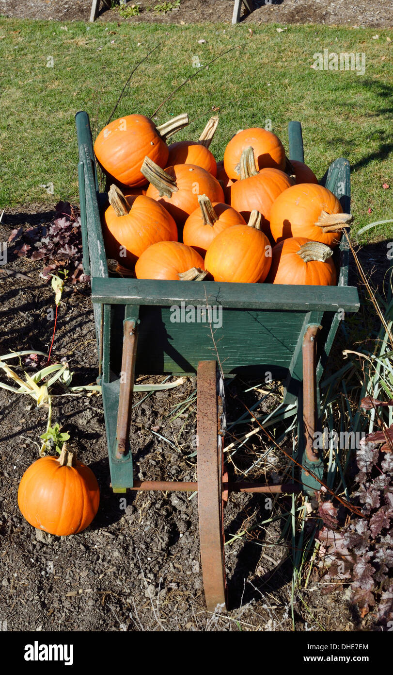 Autumn New England scene of old wooden wheelbarrow filled with orange pumpkins in garden outside, Massachusetts, USA. - Stock Image
