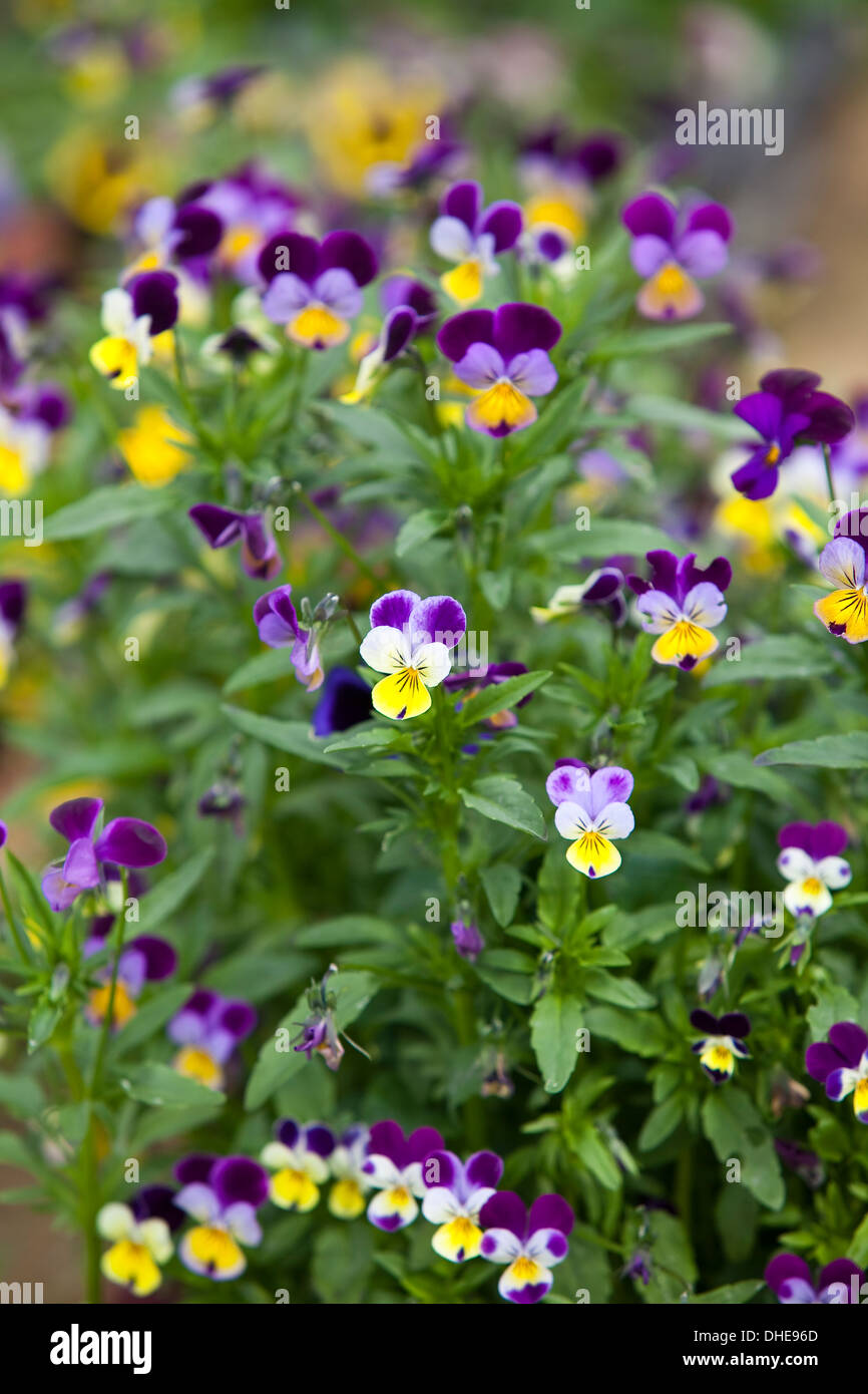 Mauve Purple Yellow Flowers Stock Photos Mauve Purple Yellow