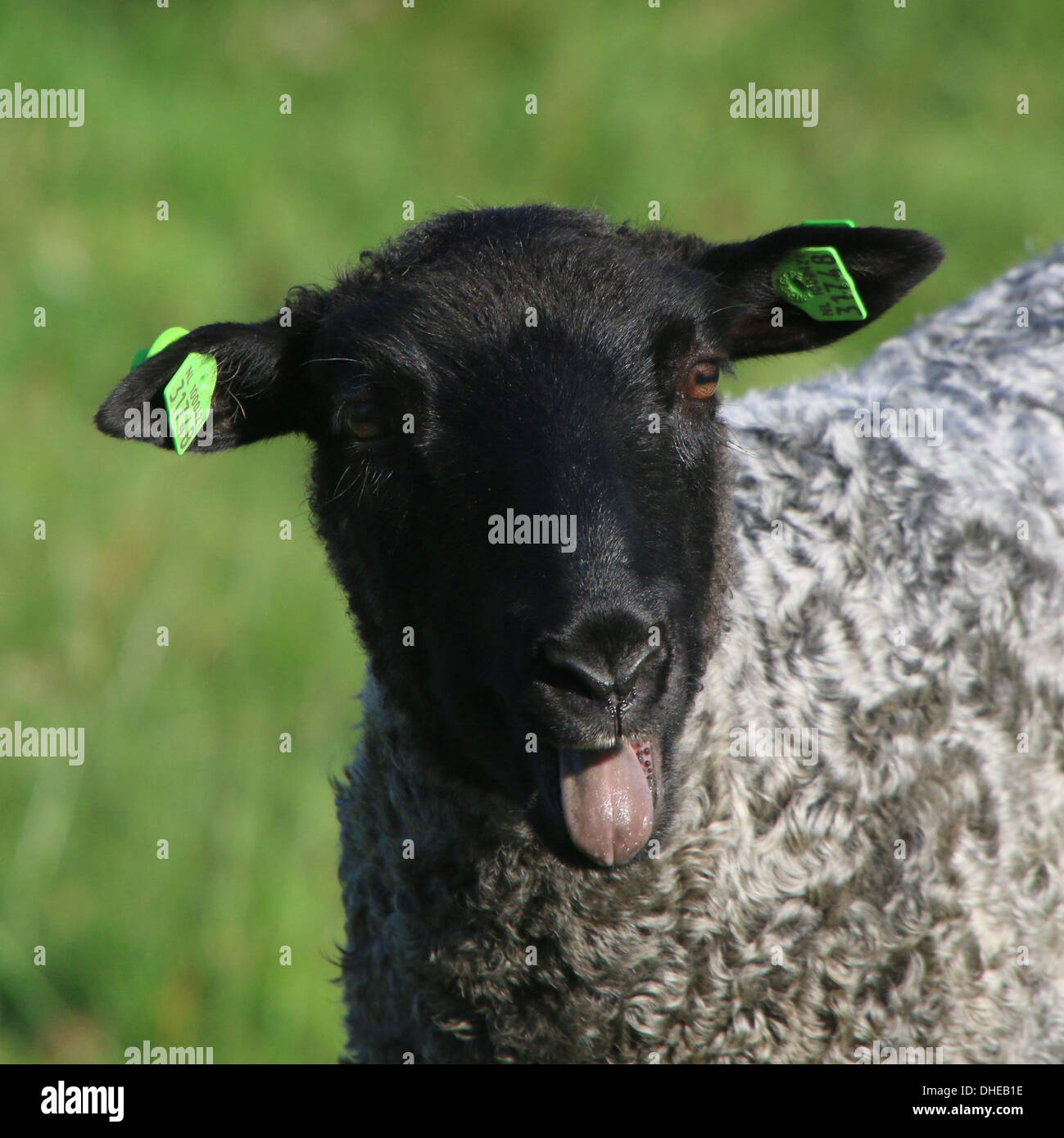 Close-up of a a sheep bleating - Stock Image