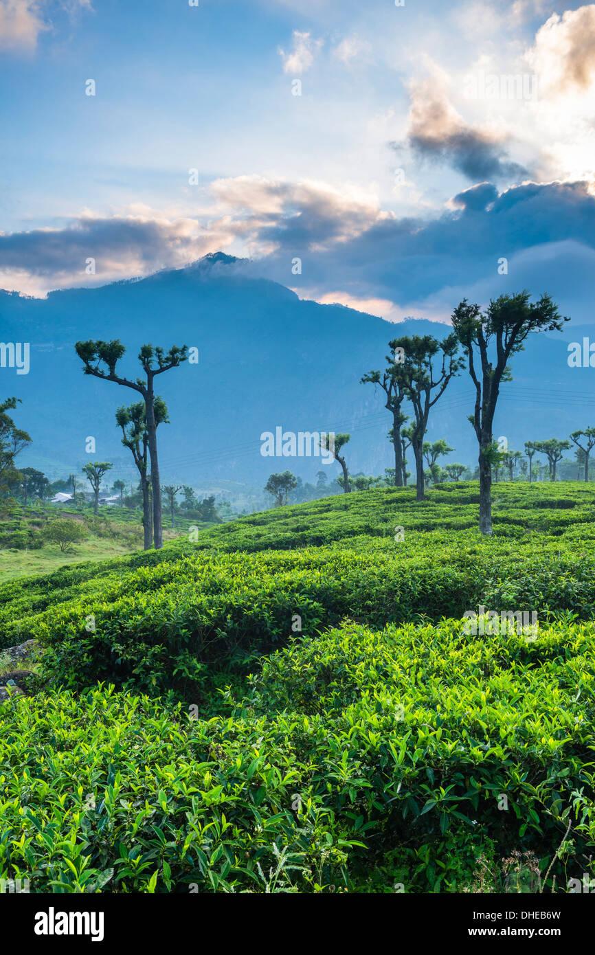 Sunrise over tea plantations, Haputale, Sri Lanka Hill Country, Sri Lanka, Asia - Stock Image