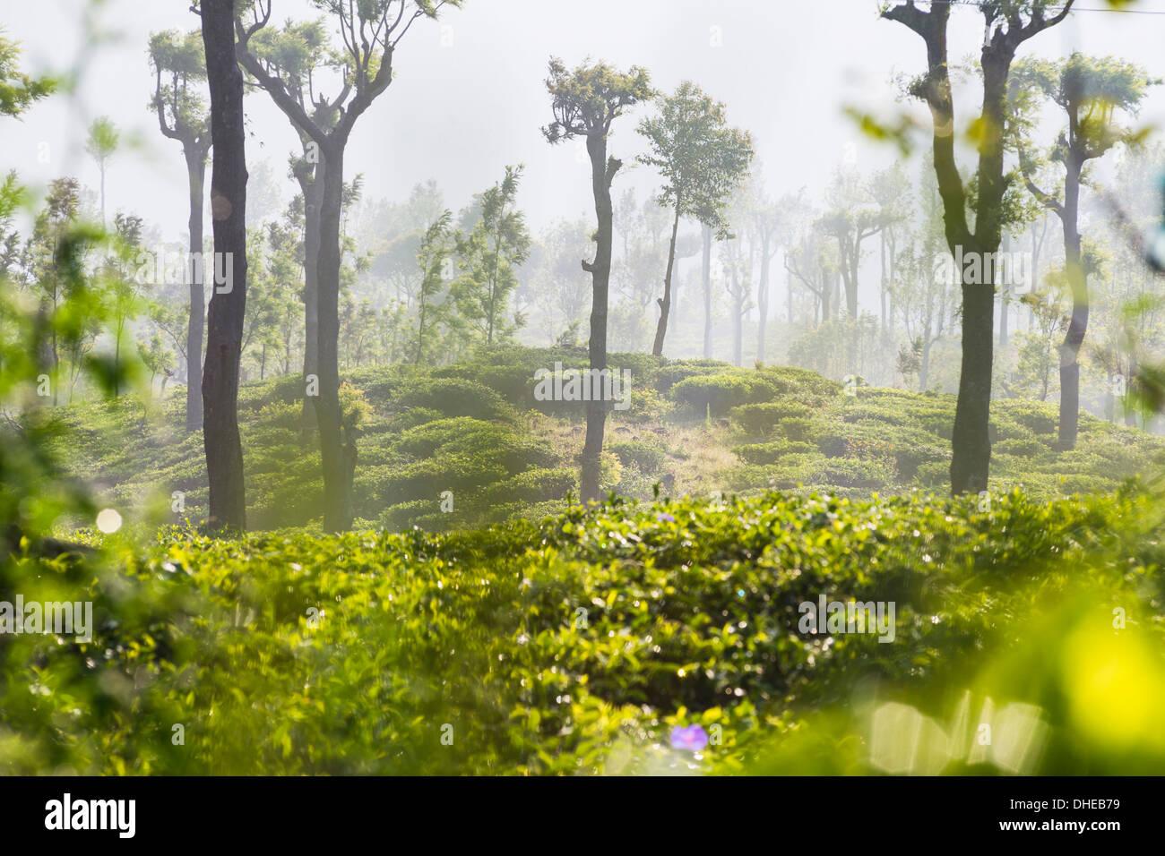 Sunrise at tea plantations, Haputale, Sri Lanka Hill Country, Nuwara Eliya District, Sri Lanka, Asia - Stock Image