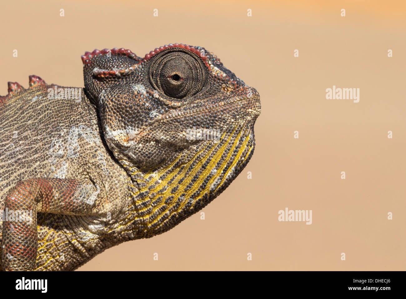 Namaqua chameleon (Chamaeleo namaquensis), Namib Desert, Namibia, Africa - Stock Image