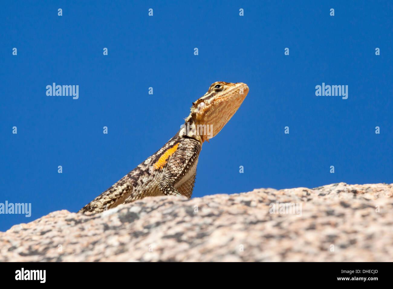 Namibian rock agama (Agama planiceps), Damaraland, Namibia, Africa - Stock Image