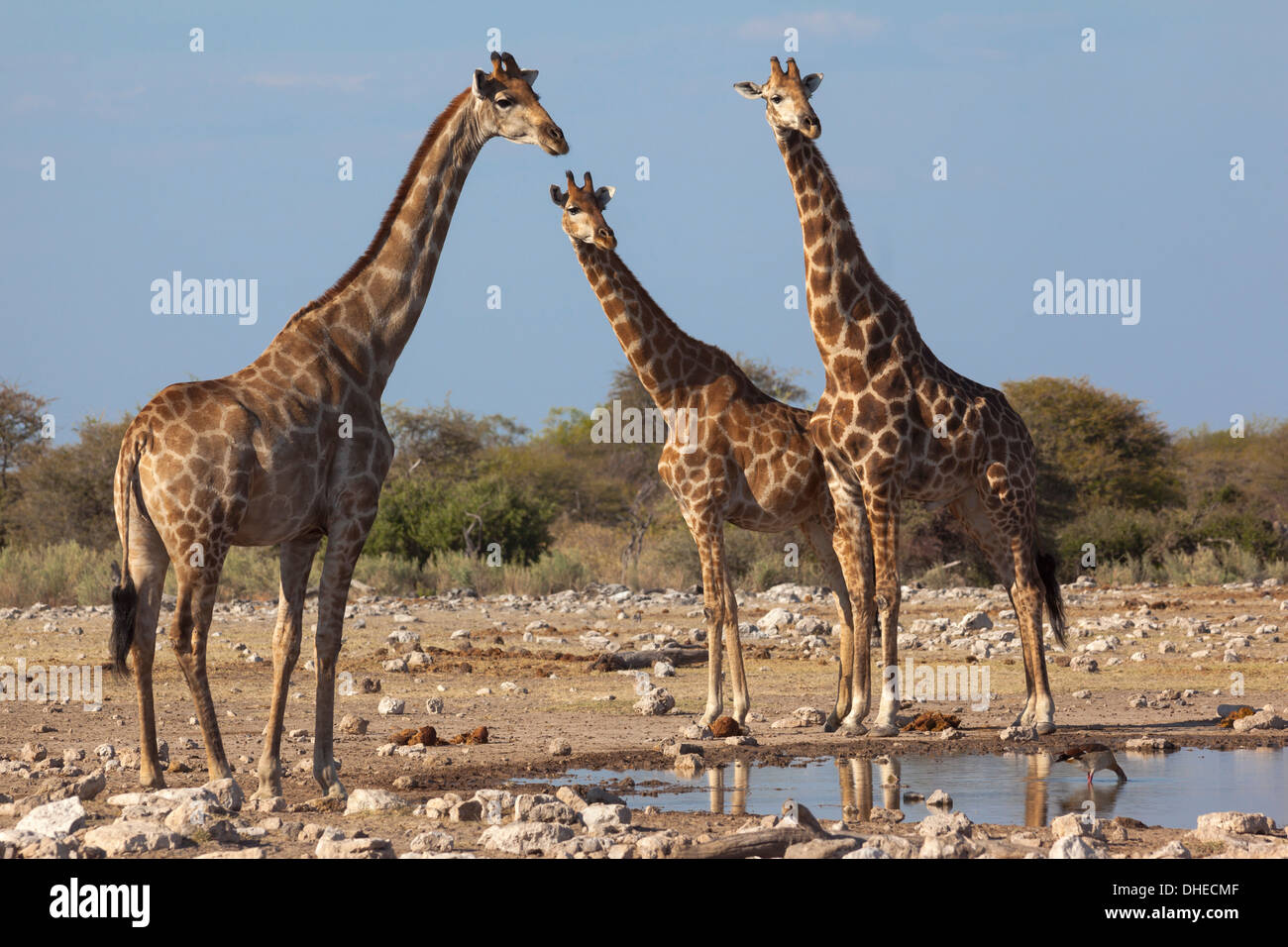 Giraffe (Giraffa camelopardalis) gathered at waterhole, Etosha National Park, Namibia, Africa - Stock Image