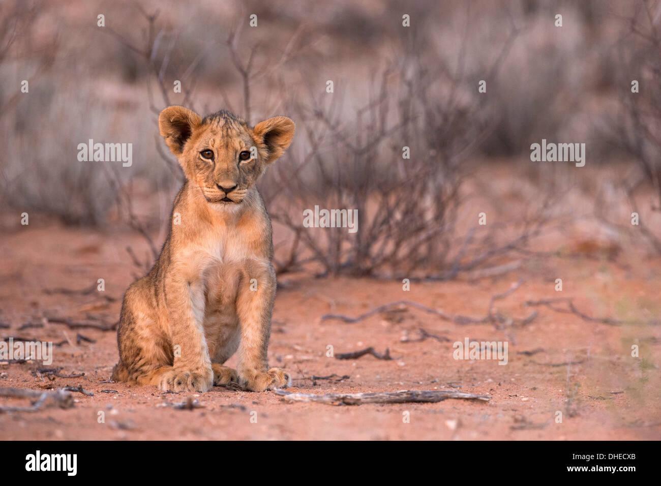 Lion cub (Panthera leo), Kgalagadi Transfrontier Park, South Africa, Africa - Stock Image