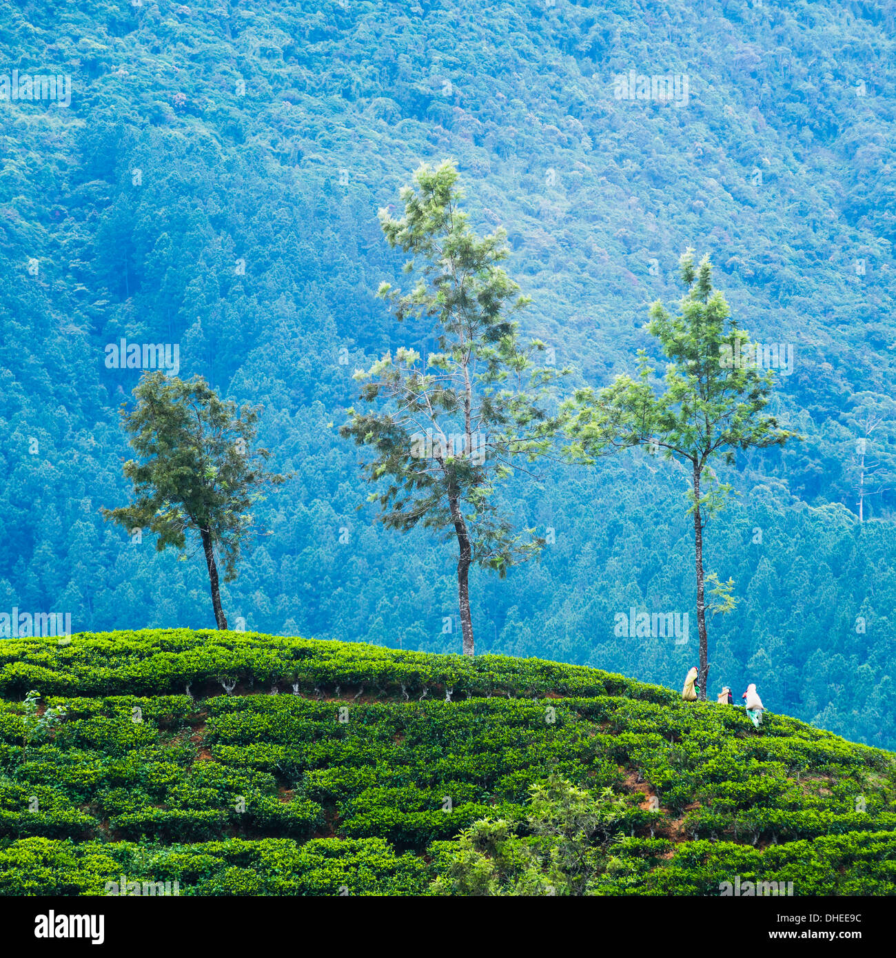 Tea pluckers working at a tea plantation in the the Central Highlands, Nuwara Eliya District, Sri Lanka, Asia - Stock Image