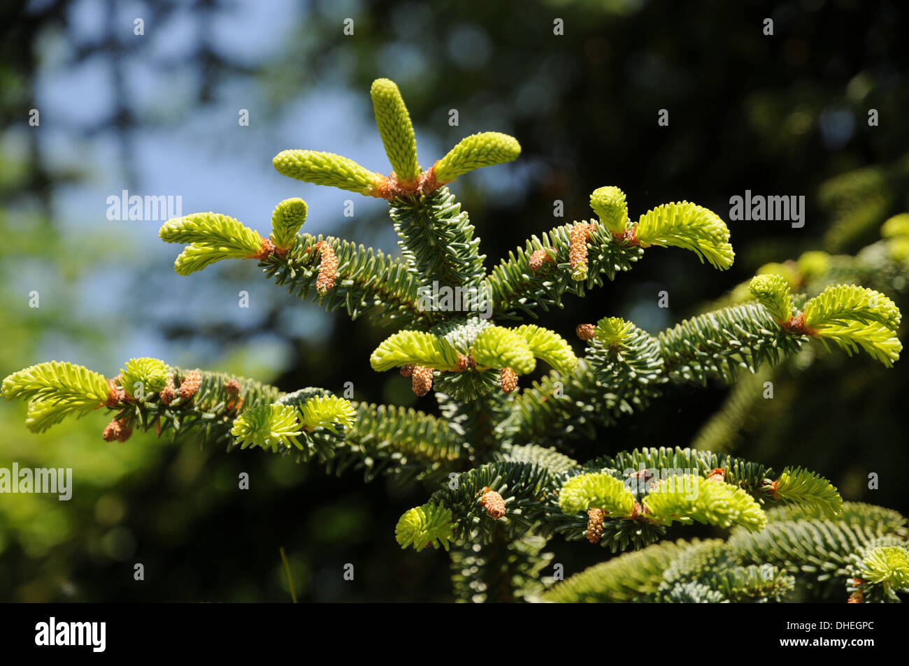 Algerian Fir - Stock Image