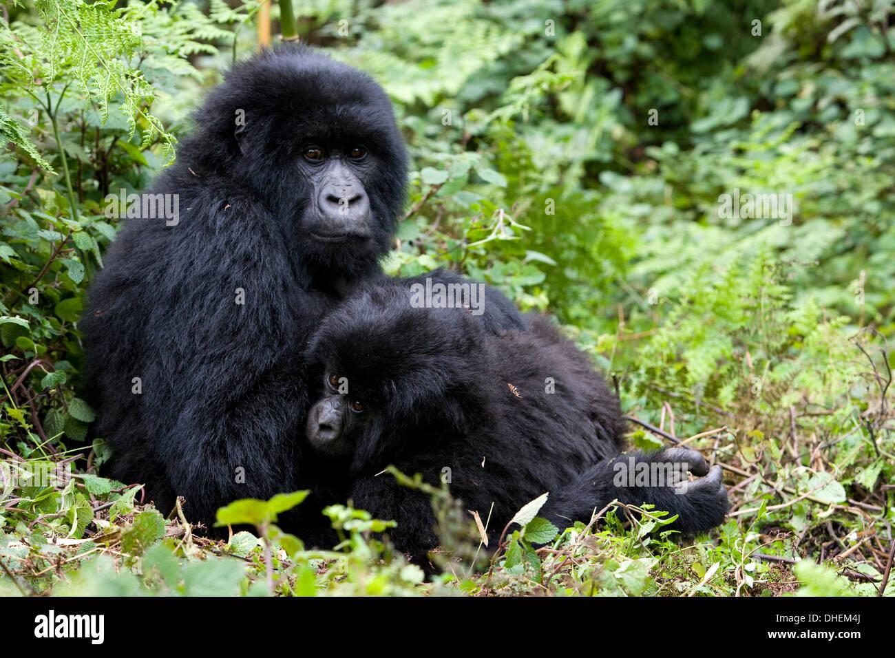 Mountain gorillas (Gorilla gorilla beringei), Kongo, Rwanda, Africa - Stock Image