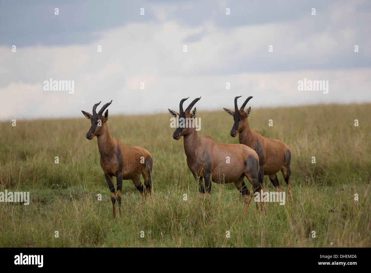 Topi  (Damaliscus korrigum), Masai Mara National Reserve, Kenya, East Africa, Africa - Stock Image