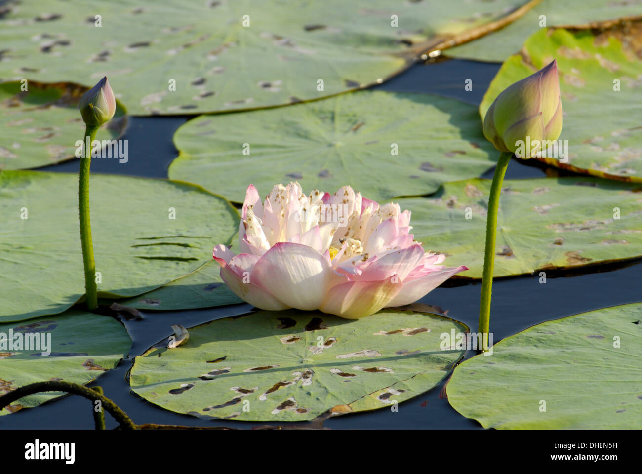 Pink lotus water lilies floating in pond flower stock photos pink pond filled with lotus tamil nadu india asia stock image izmirmasajfo