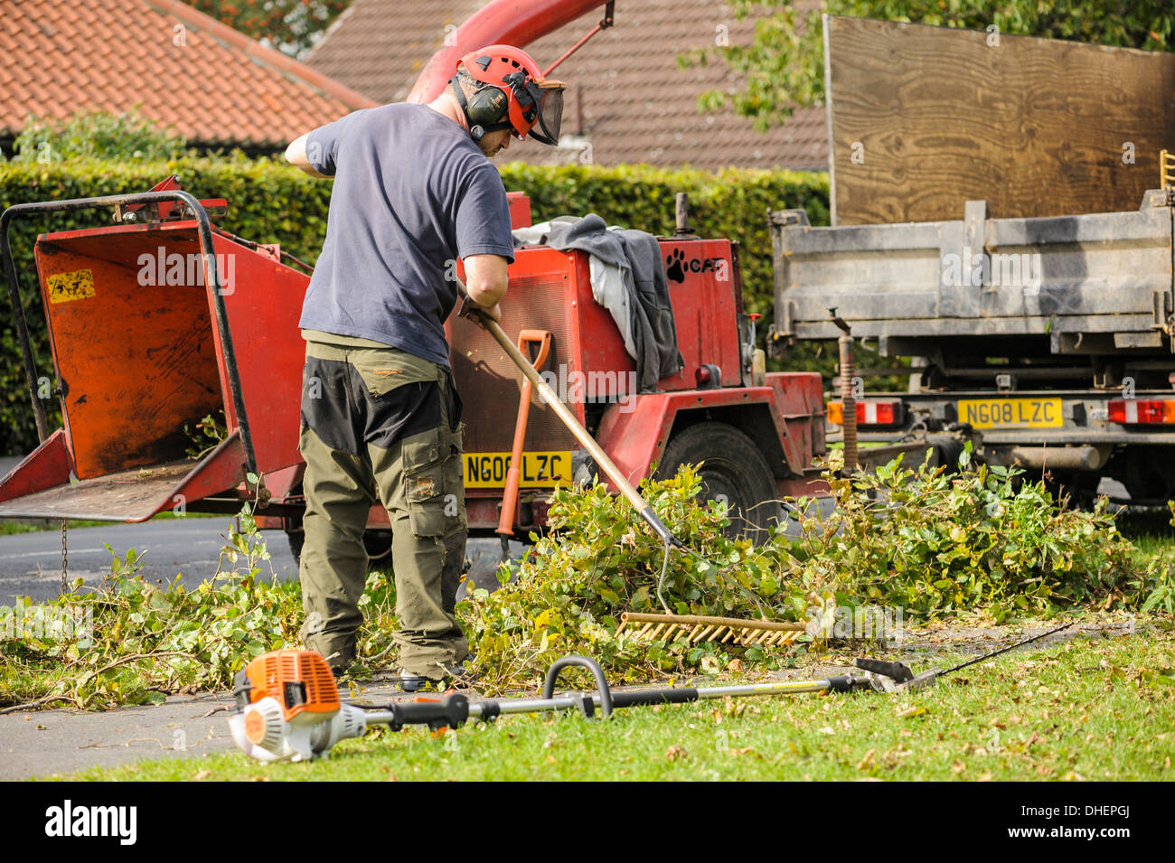 Side view of a tree surgeon in a hard hat raking up hedge trimmings outdoors outside garden maintenance. - Stock Image