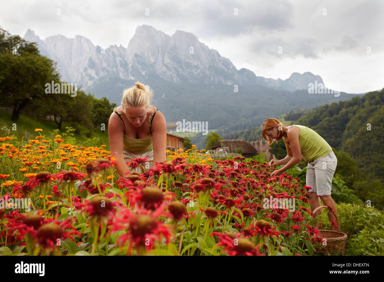 Women picking flowers - Stock Image