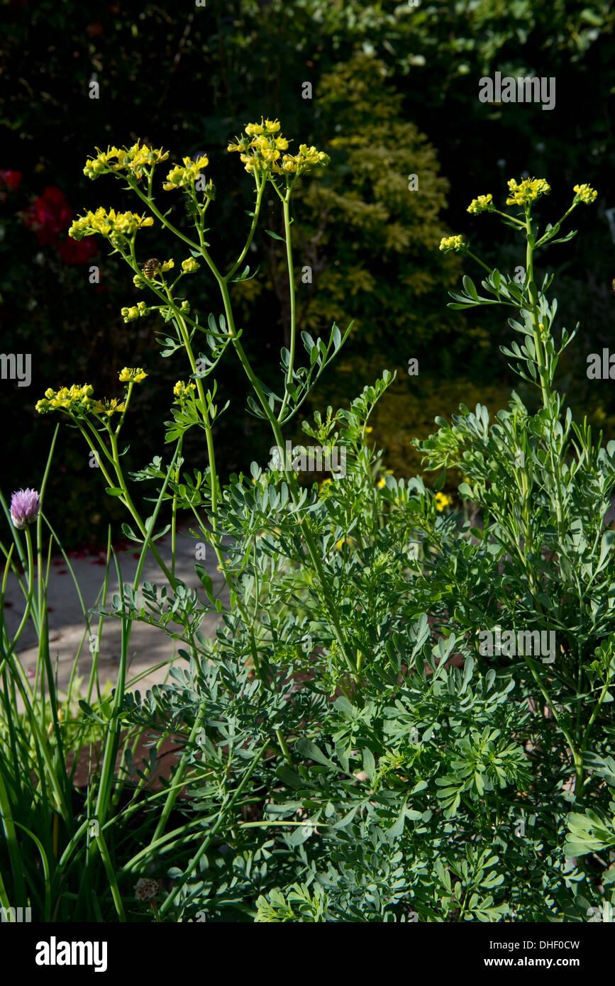 A herb, rue, Ruta graveolens, in flower in a kitchen garden - Stock Image