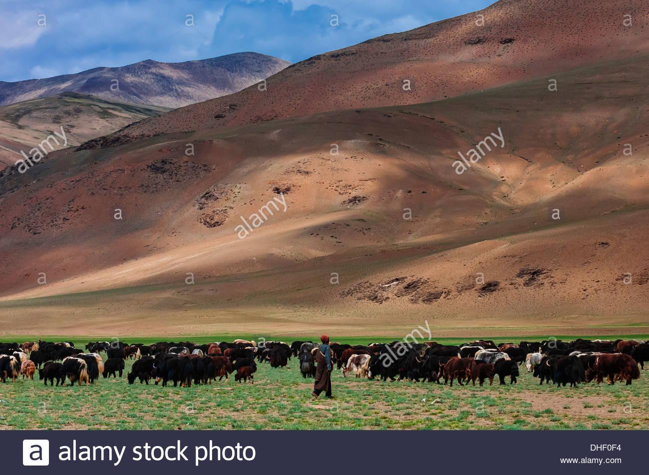 Nomadic Yak herders in the Himalayas, near Pang, Ladakh, Jammu and Kashmir State, India. - Stock Image