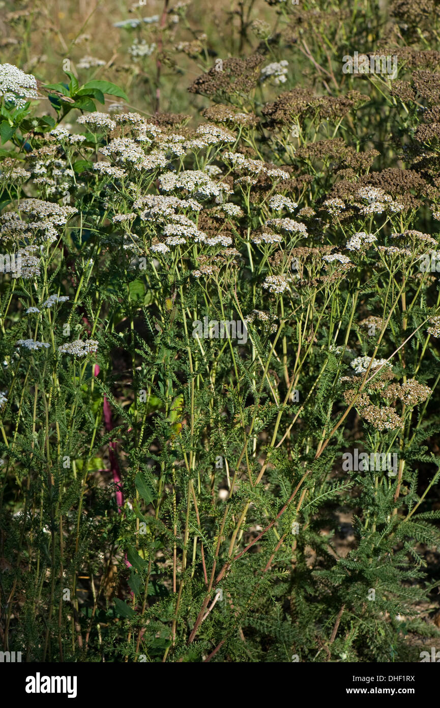 A tall group of yarrow, Achillea millefolium, flowering and seeding in waste ground - Stock Image