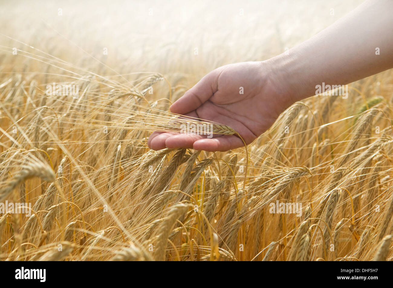 Hand touching wheat - Stock Image