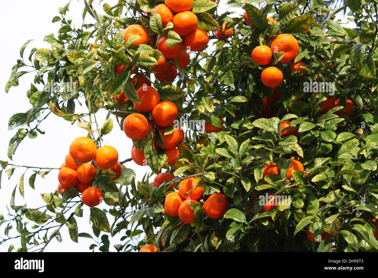 Tropical orange bunches growing on tree Stock Photo