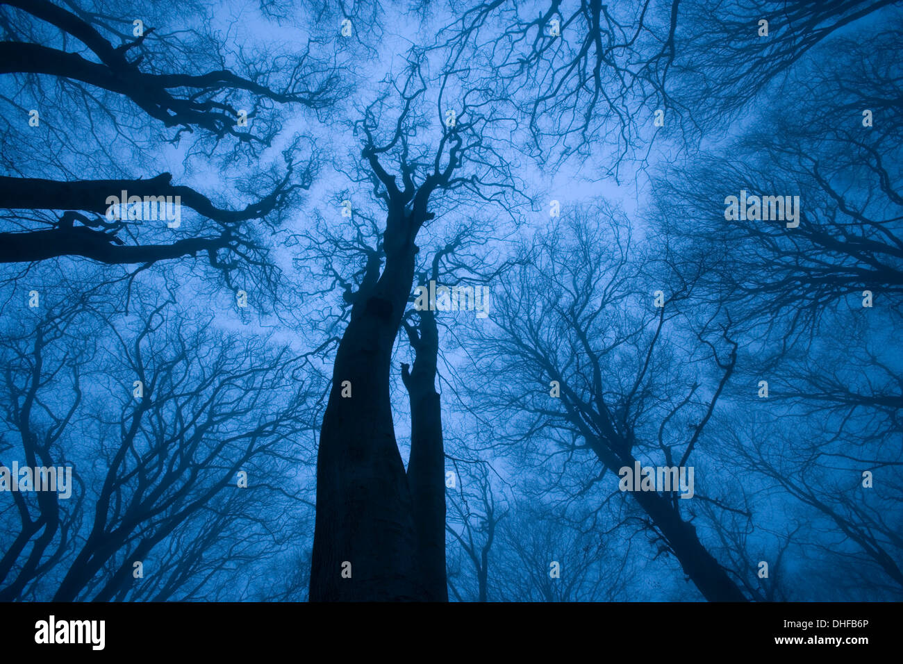 Tree canopy in winter, Felbrigg Woods, Norfolk, UK Stock Photo