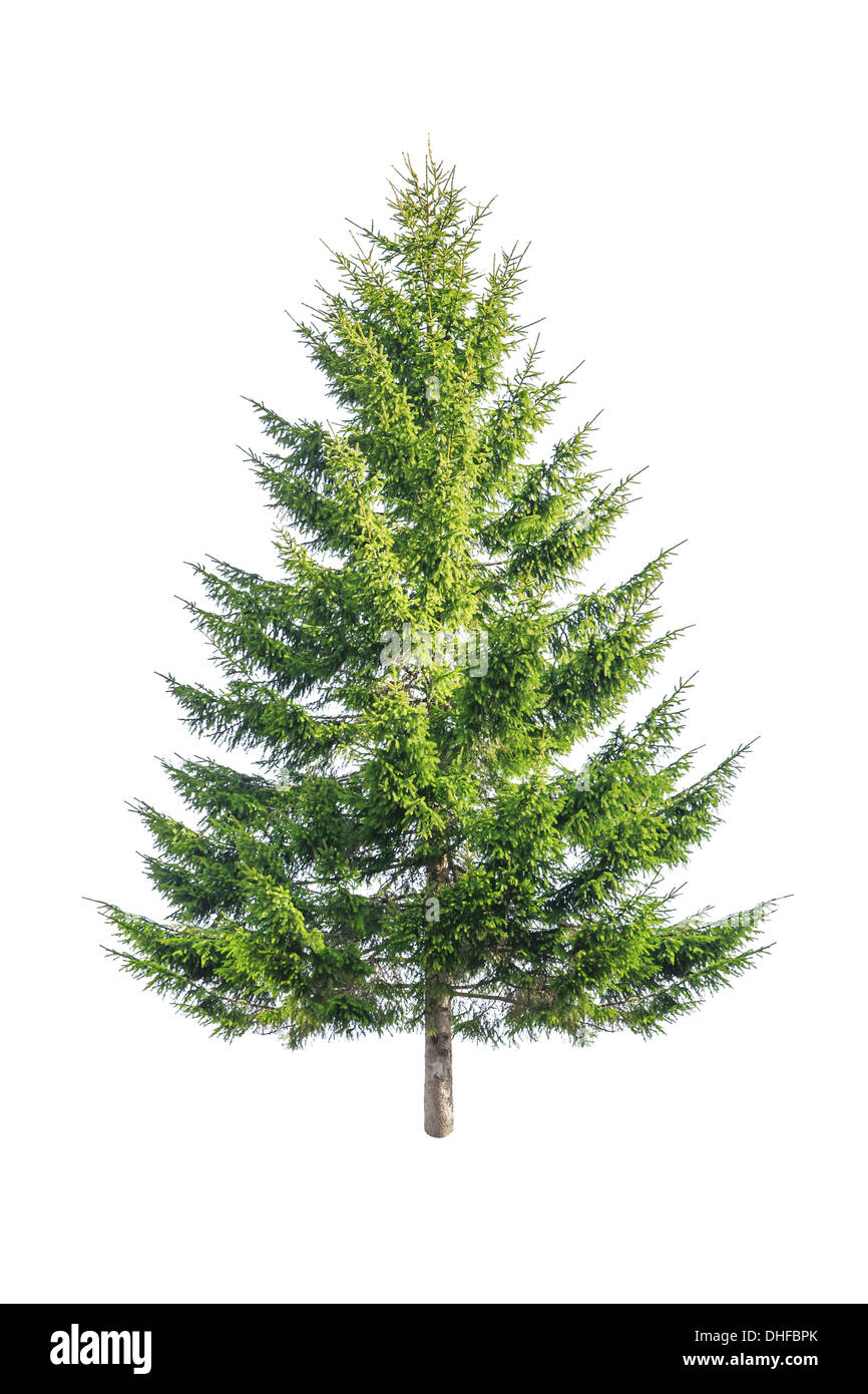 green fir isolated on white - Stock Image