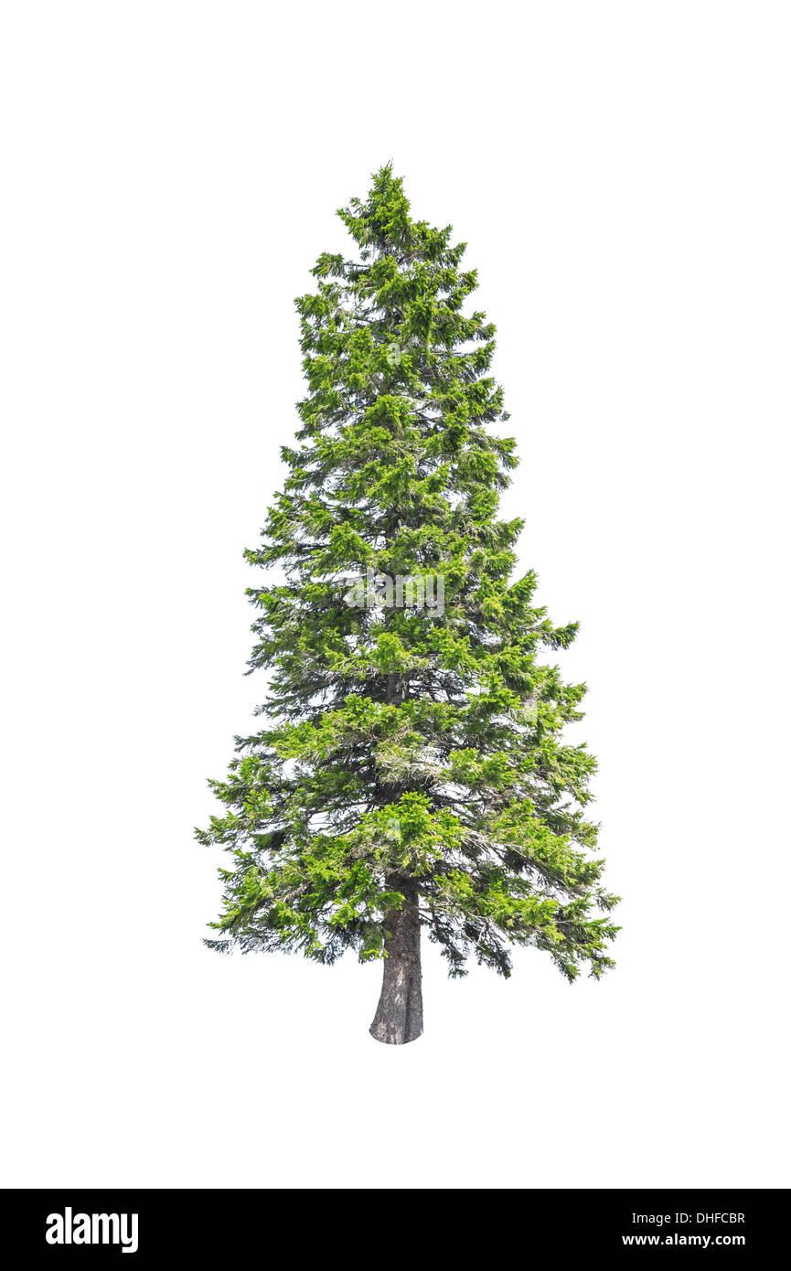 christmas tree isolated on white - Stock Image