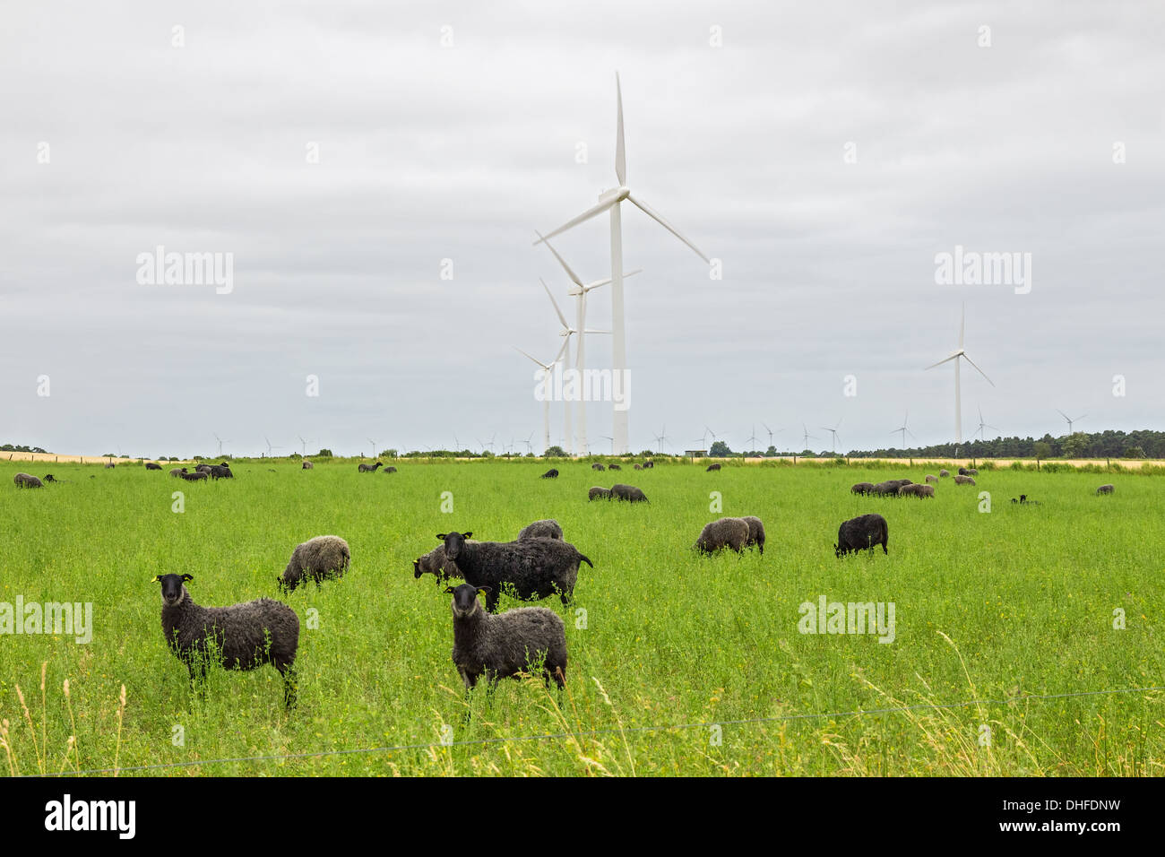 Sheep on green pasture, with wind turbines in a distance. Gotland, Sweden. - Stock Image