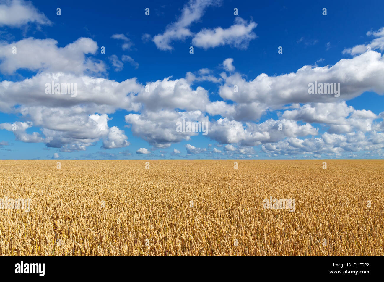 Golden wheat field, under blue sky with clouds.  - Stock Image