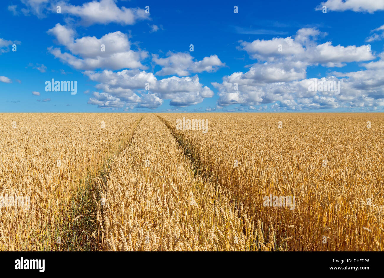 Path in a golden wheat field, under blue sky with clouds.  - Stock Image