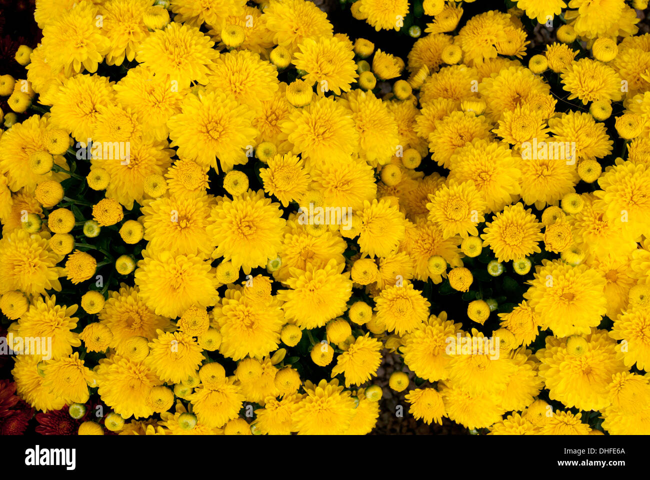 Yellow mums flowers close up stock photo 62420690 alamy yellow mums flowers close up mightylinksfo