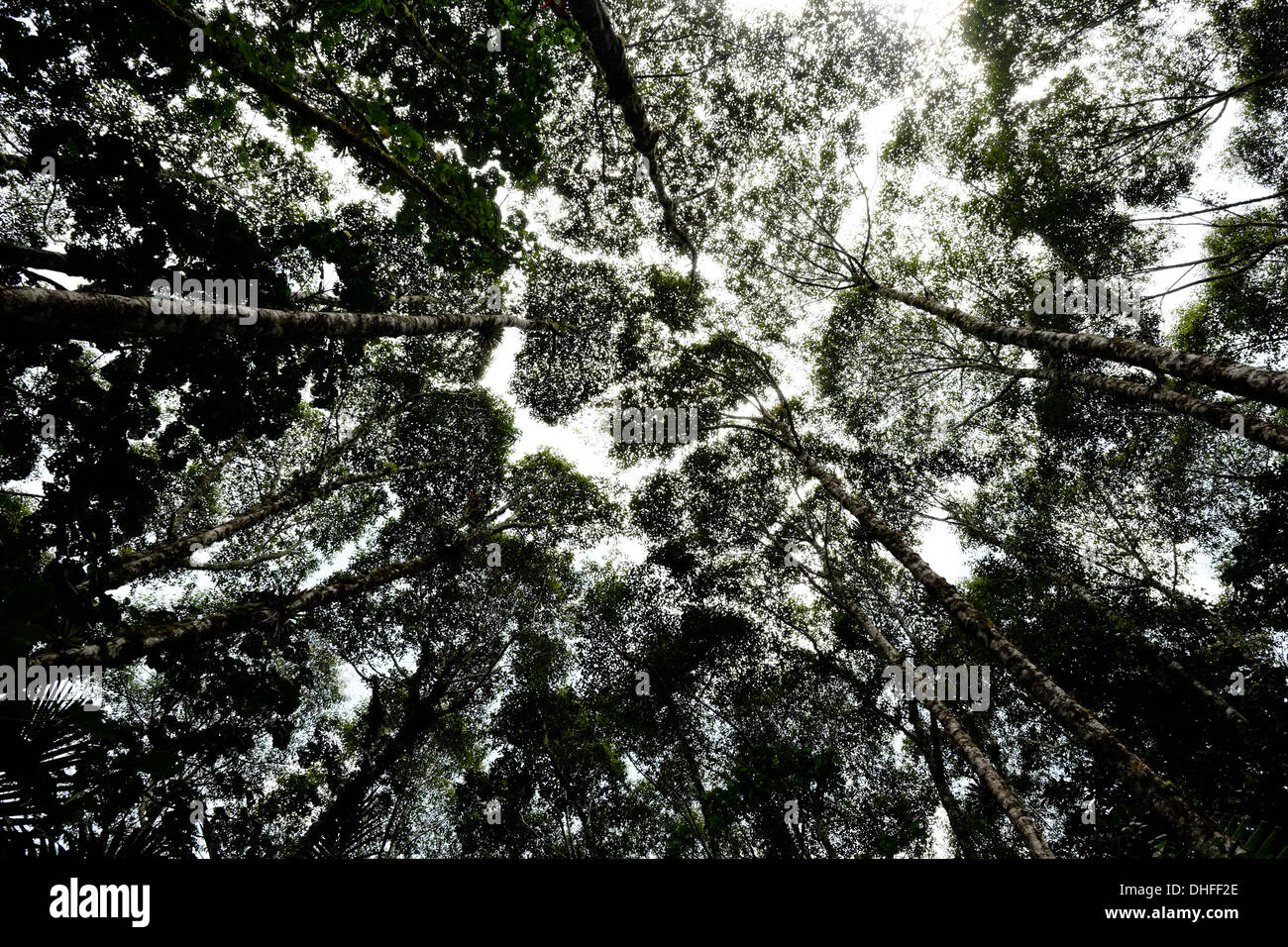 Dense thick cloud forest in national park Volcan Baru in western Chiriqui Province Republic of Panama - Stock Image