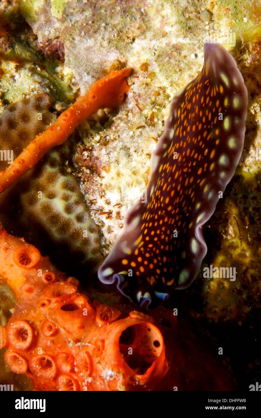 Flat worm on reef - Stock Image