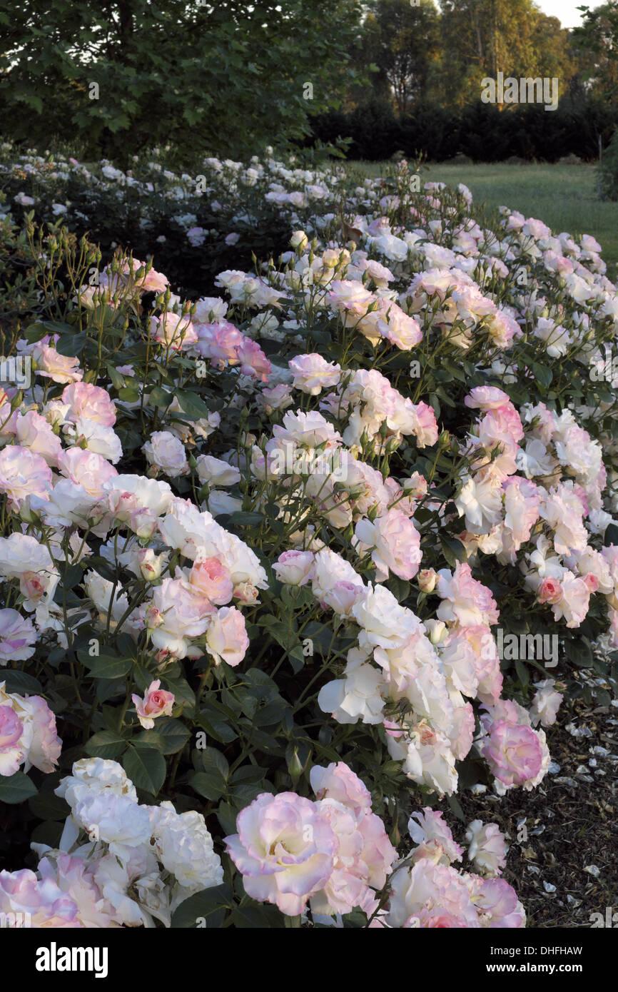 Gruss an Aachen Rose,  mass planted as border in country garden australia - Stock Image