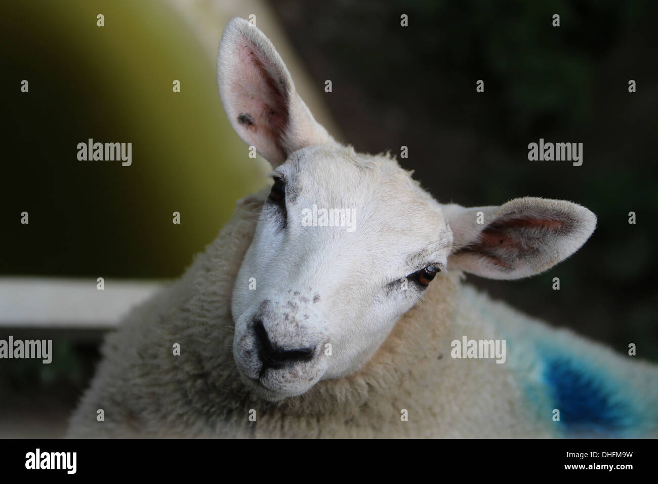 A close up of the head of a year old Lleyn sheep. - Stock Image