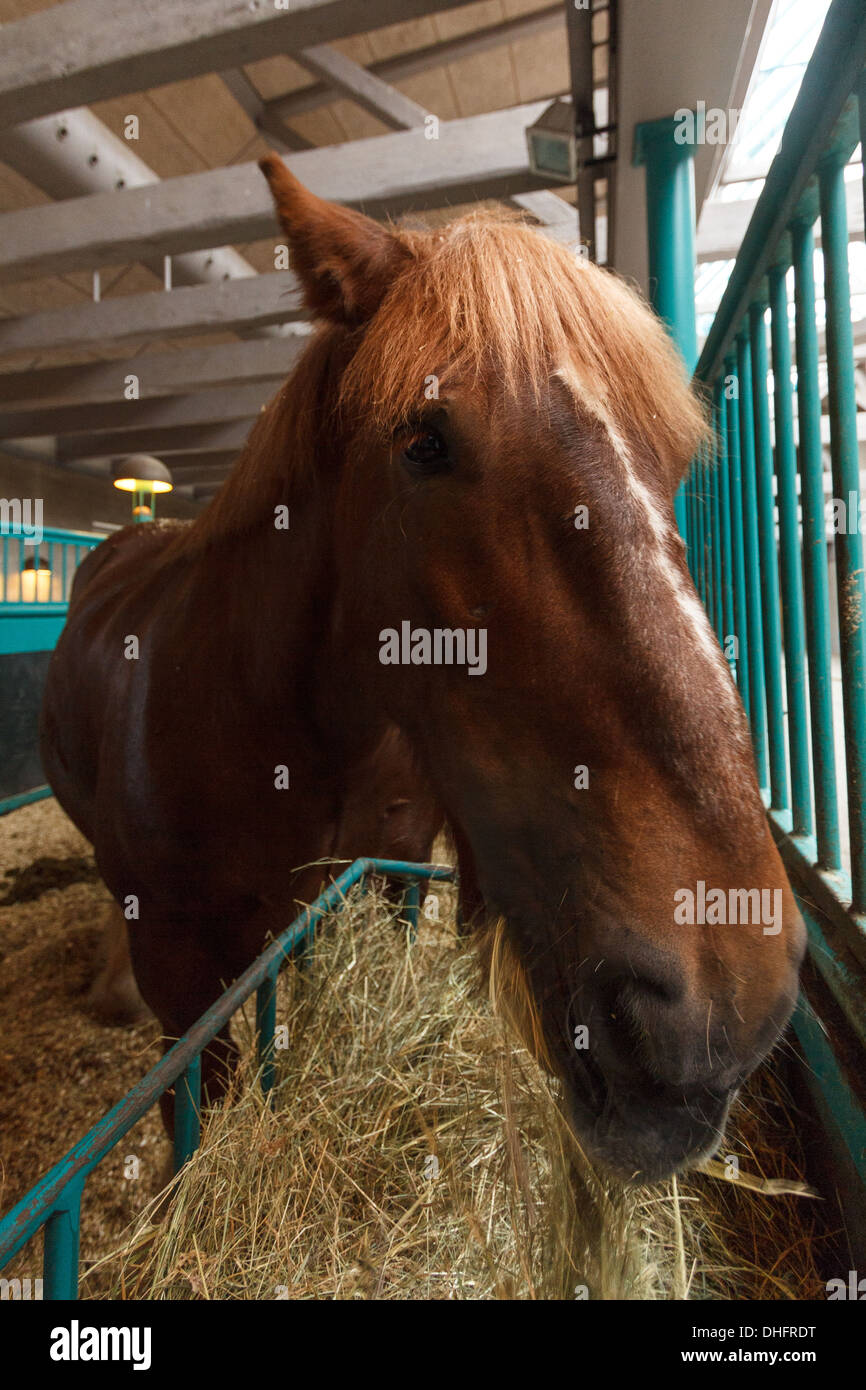 Brown horse eating hay at the Carlsberg Stables, at the Carlsberg Museum Copenhagen - Stock Image