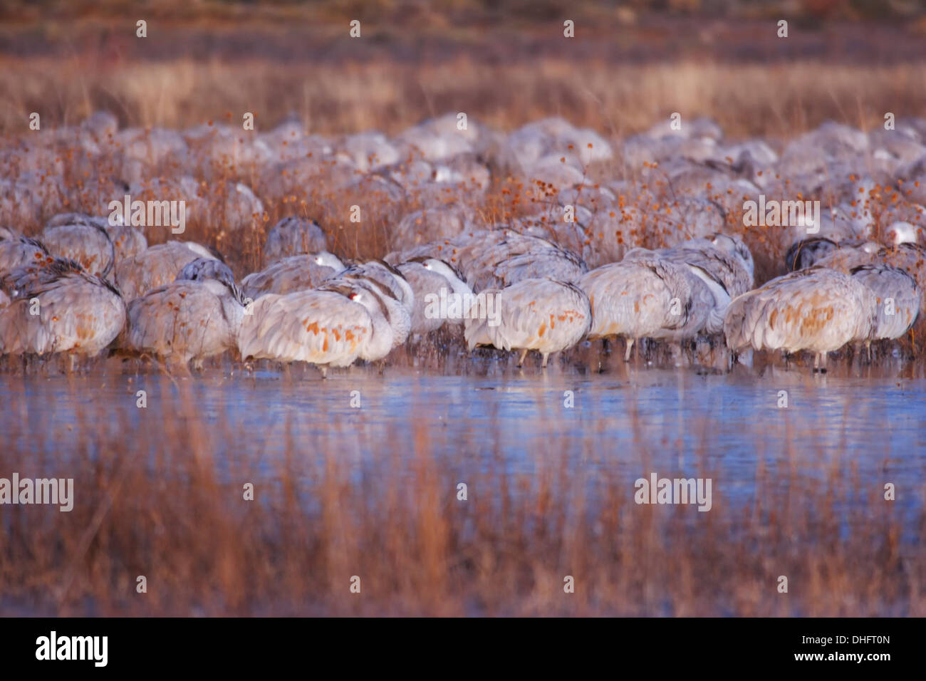 Sleeping sandhill cranes, Bosque del Apache National Wildlife Refuge, New Mexico USA - Stock Image