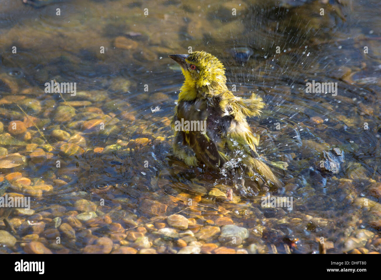 Female Black-headed Weaver having a bath - Stock Image