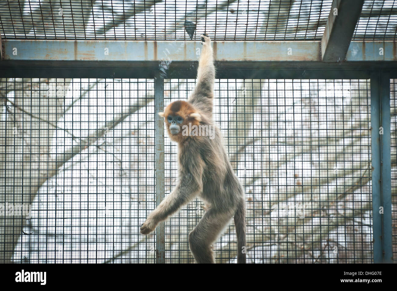 Golden snub-nosed monkey (Rhinopithecus roxellana or Pygathrix roxellana) Beijing Zoo in Xicheng District, Beijing, China - Stock Image