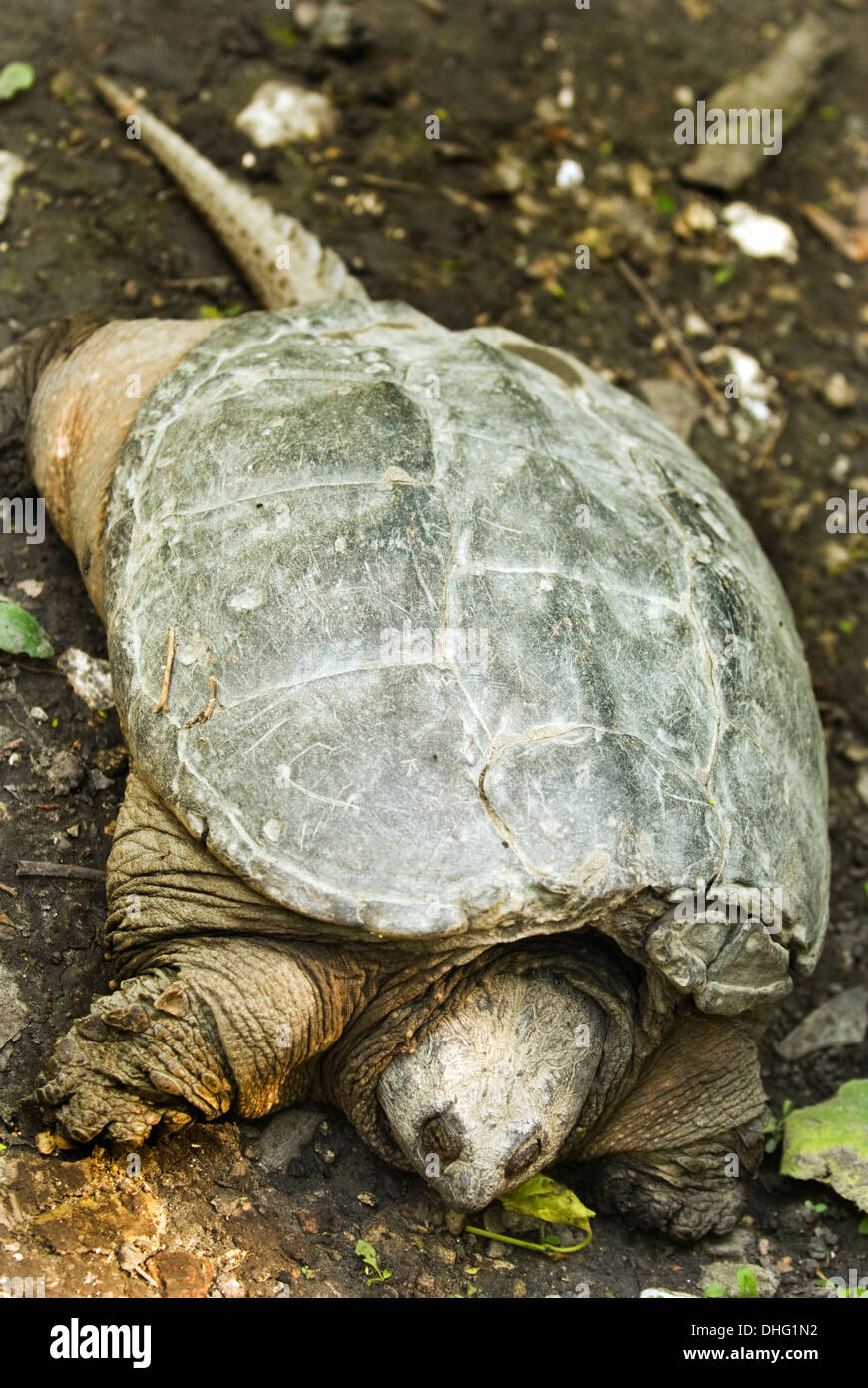 Large, old turtle on the bank along the Chicago River. - Stock Image