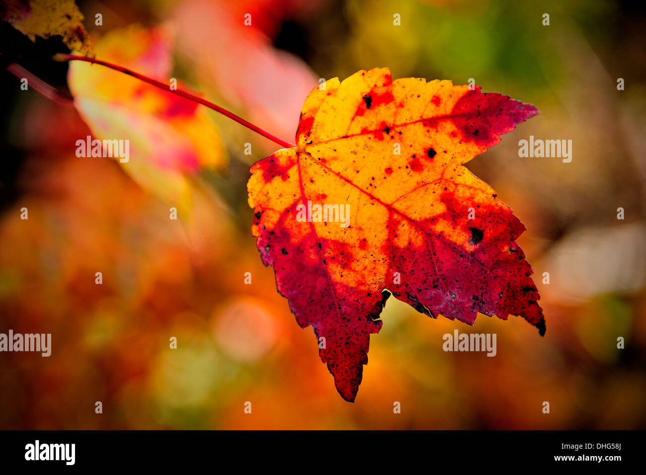 A maple leaf changing color to the bright reds and yellows of fall. Stock Photo