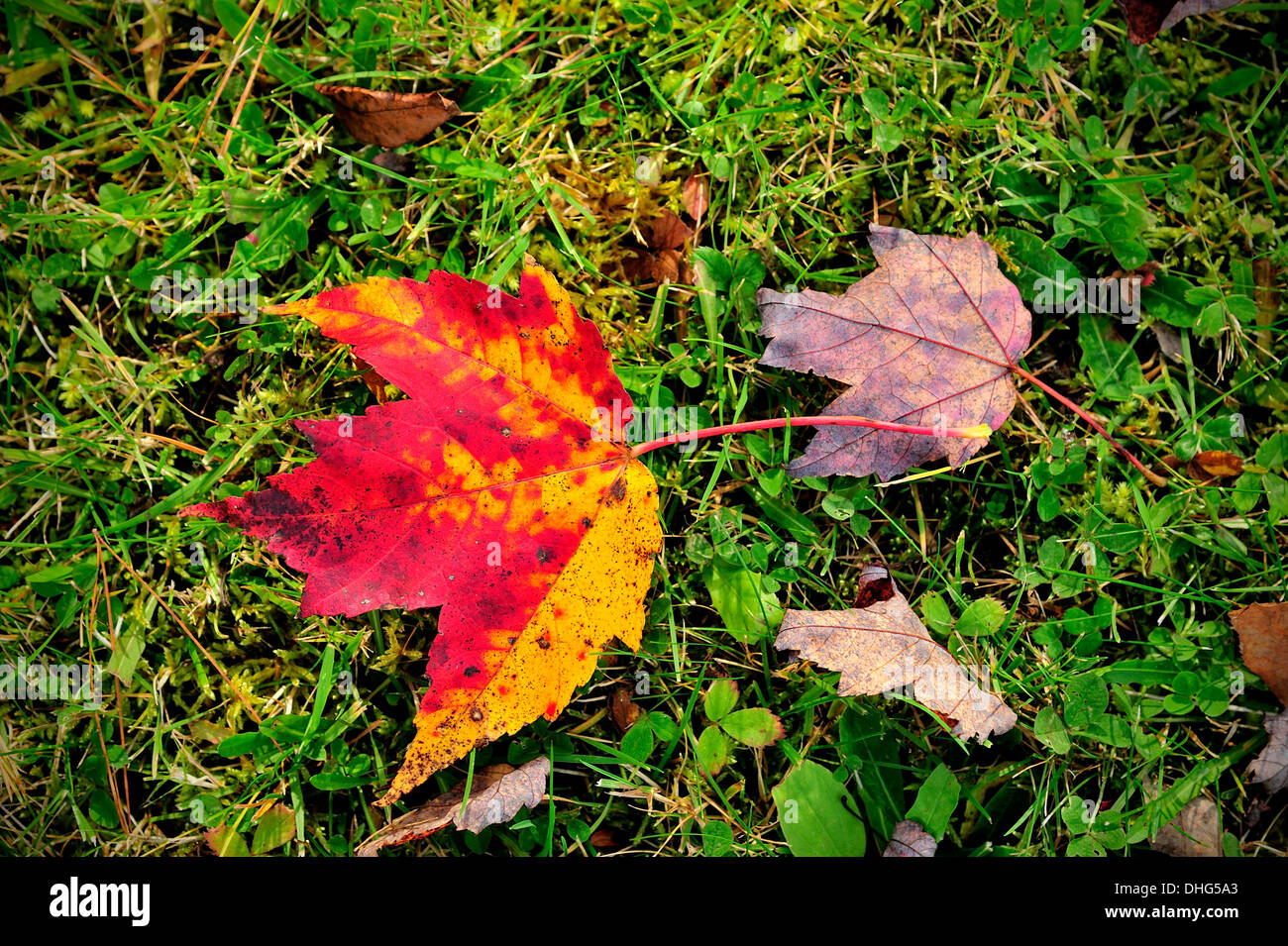 Leaf Changing Colors One Leaf Stock Photos & Leaf Changing Colors ...