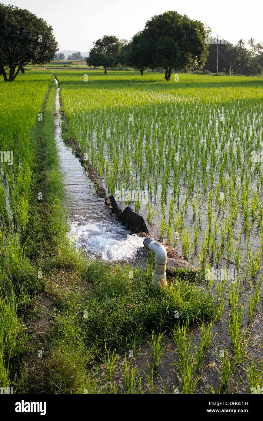 Pumped Water Irrigating rice paddy fields. Andhra Pradesh, India - Stock Image